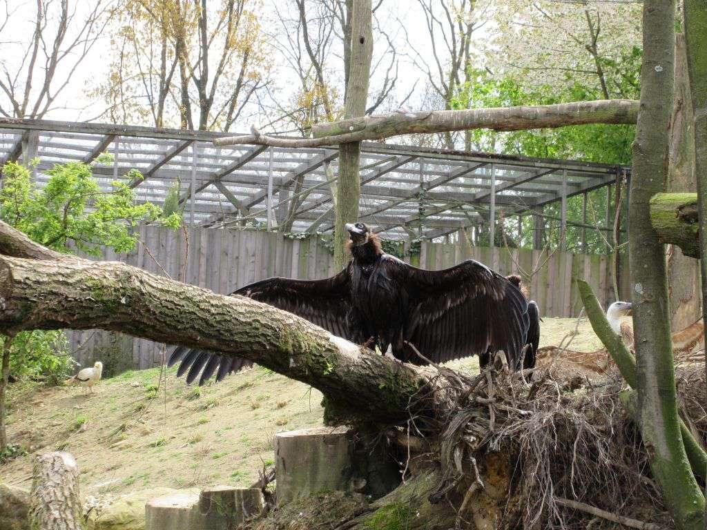 In de nieuwe volière sta je oog in oog met enorme roofvogels