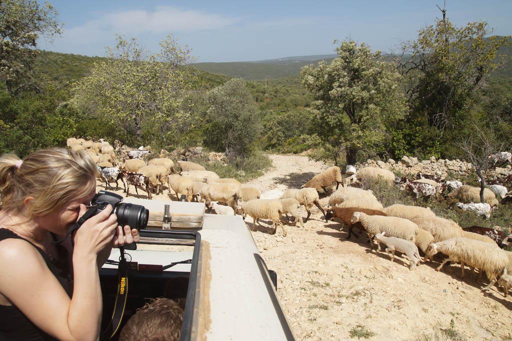 Even wachten voor een kudde schapen die oversteekt