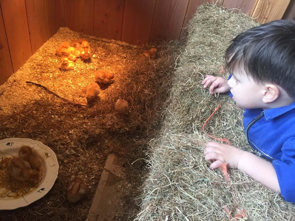 En er zijn zelfs pasboren kuikentjes bij kinderspeelboerderij Gerrithoeve, die zijn lief!