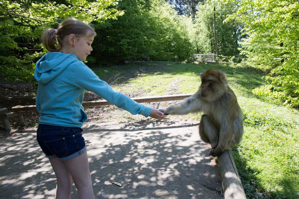 Apen voeren in de dierentuin.