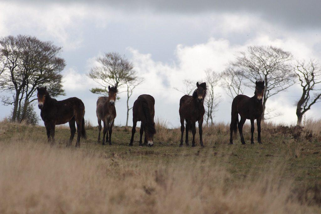 De Exmoor pony's kom je vast en zeker tegen als je gaat wandelen in Exmoor.