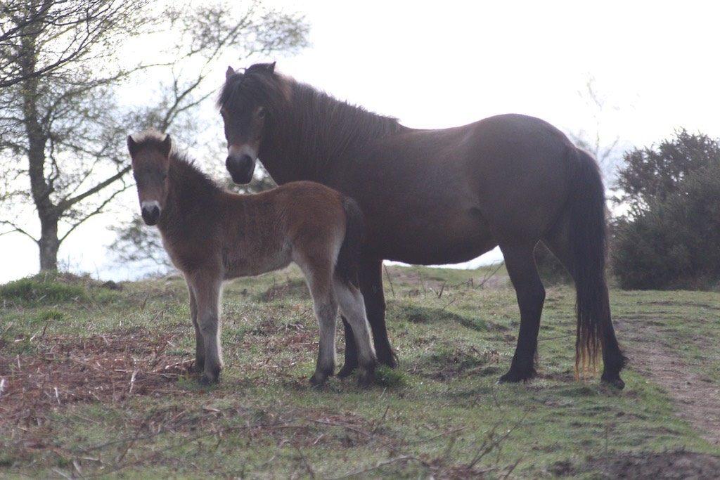 Wij zagen ook veel pony's met veulens.
