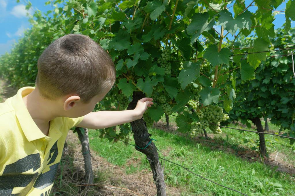 Dus van deze druiven maken ze wijn?