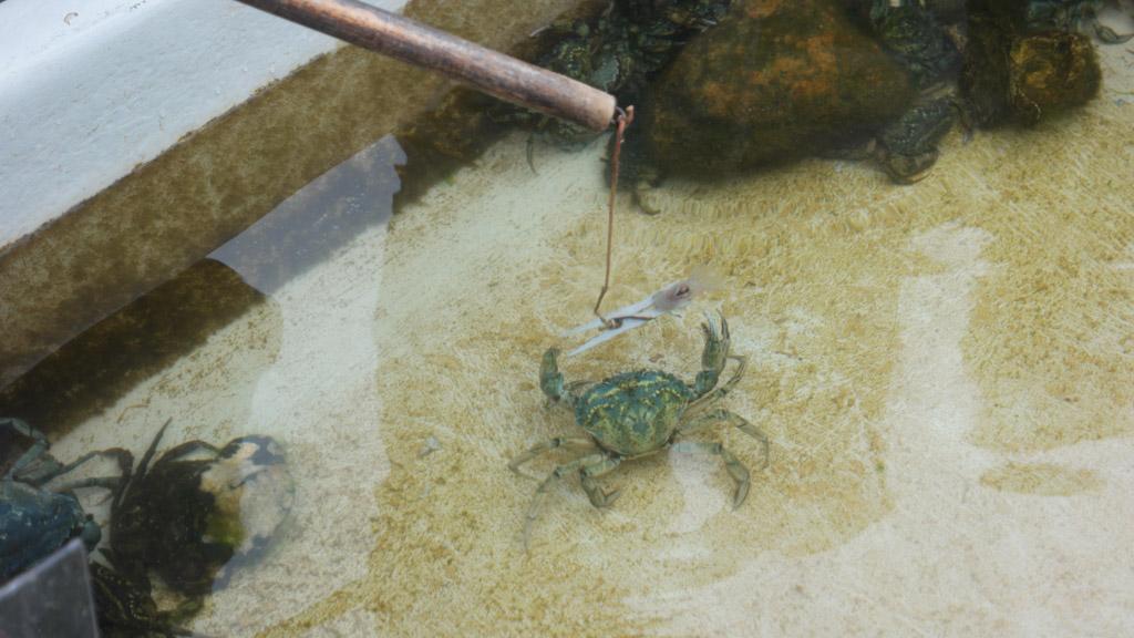 De krabben pakken heel voorzichtig de stukjes vis vast.