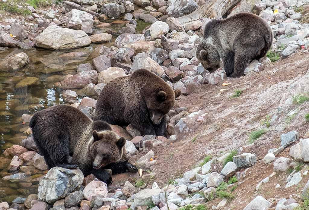 De jonge beren spelen en zoeken naar voedsel