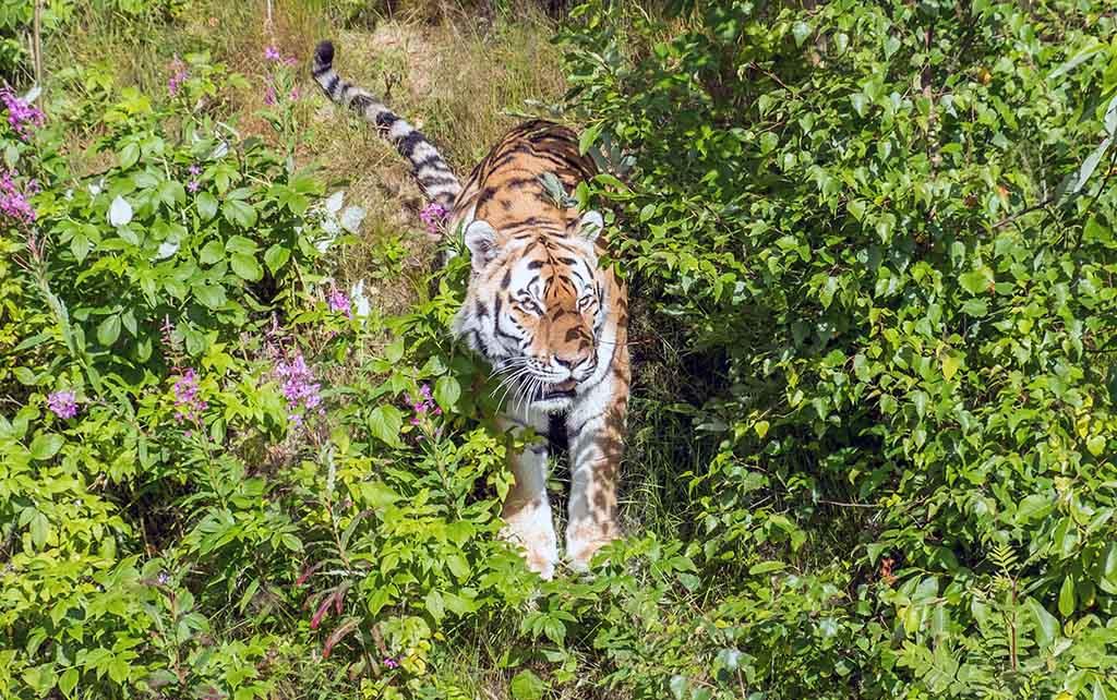 We kunnen de mooie tijger goed zien, omdat hij op de stem van de verzorgster af komt