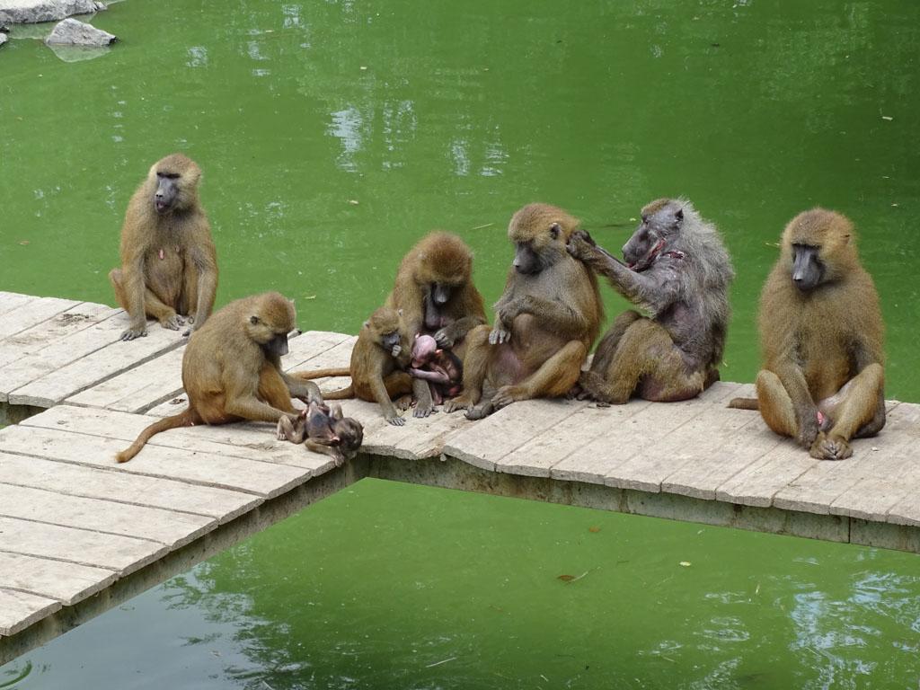 Wat een grappig plaatje, al die apen aan het vlooien.