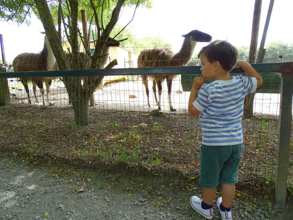 En de soms spugende lama's.