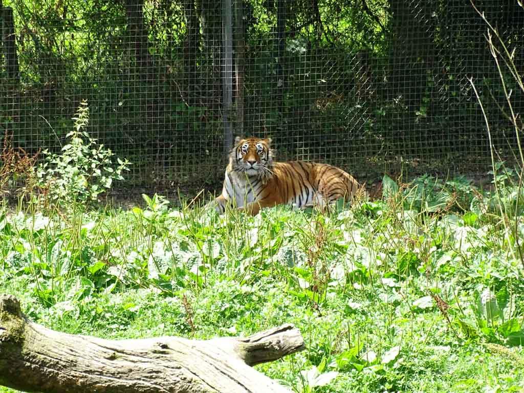 Altijd mooi om te zien, de tijgers.