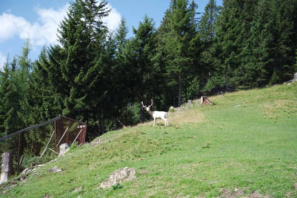 Het witte hert is bijzonder en heel schuw. Gelukkig zien we hem toch even.
