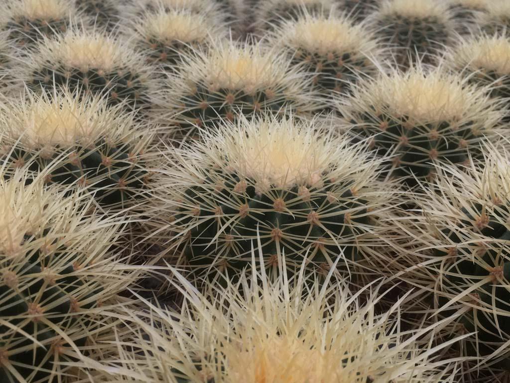 Cactussen in cactusoase