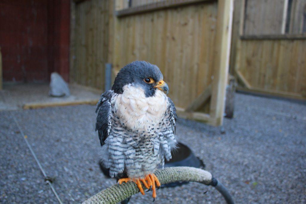 Je kunt de roofvogels van heel dichtbij bekijken in Wildpark Willingen.