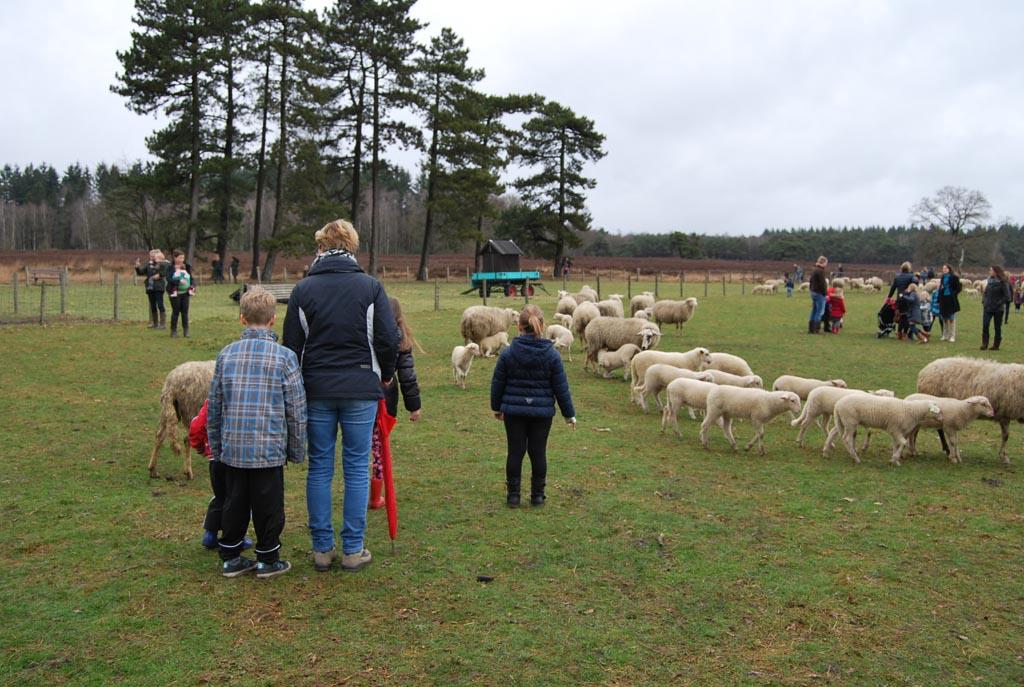 Aangekomen in de schapenwei van schaapskooi Epe-Heerde.