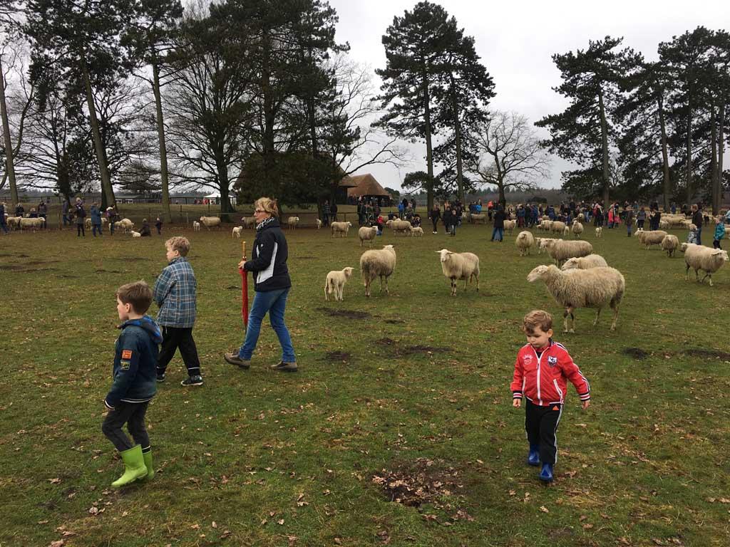 Lekker lopen tussen de schapen en de al wat grotere lammetjes.