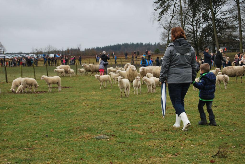 Je kunt op je gemakje tussen de schapen doorlopen.