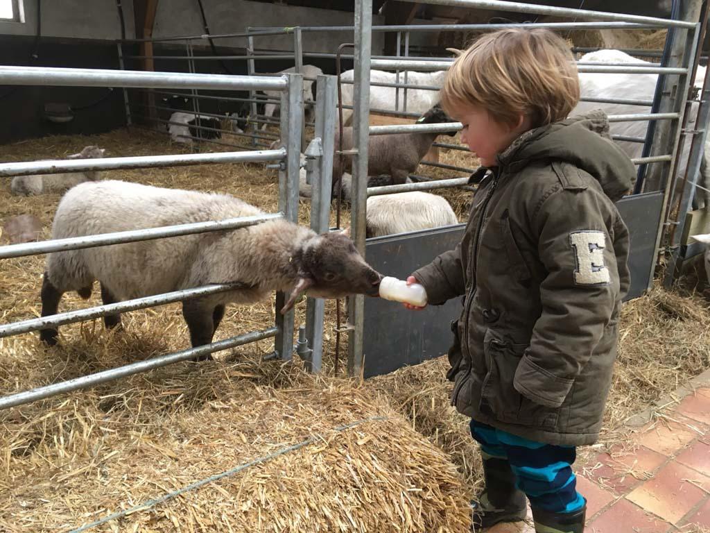 De schapen de fles geven.
