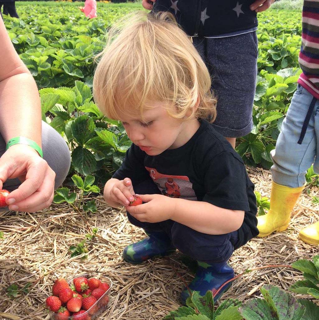 Zelf aardbeien plukken is wat ons betreft de leukste 'attractie' van Aardbeienland.