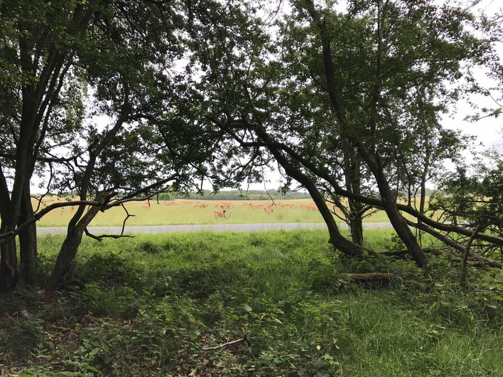 Tussen de bomen zien we de herten al.