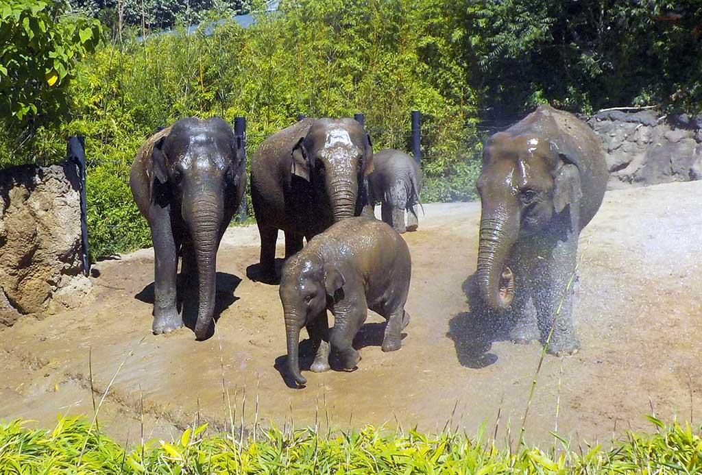 De olifanten worden natgespoten tegen de hitte