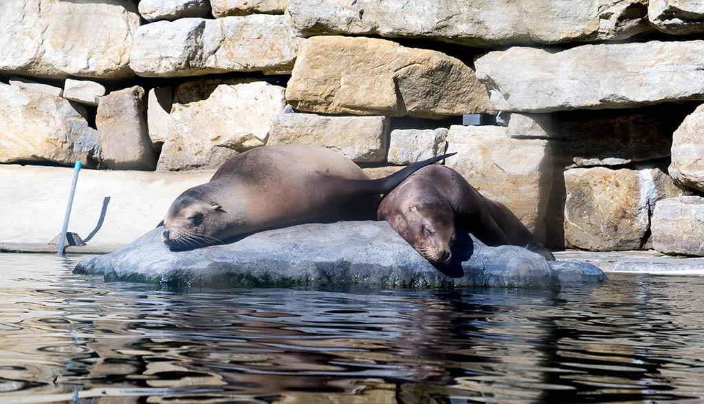 De zeehondjes luieren en nemen af en toe opeens een duik