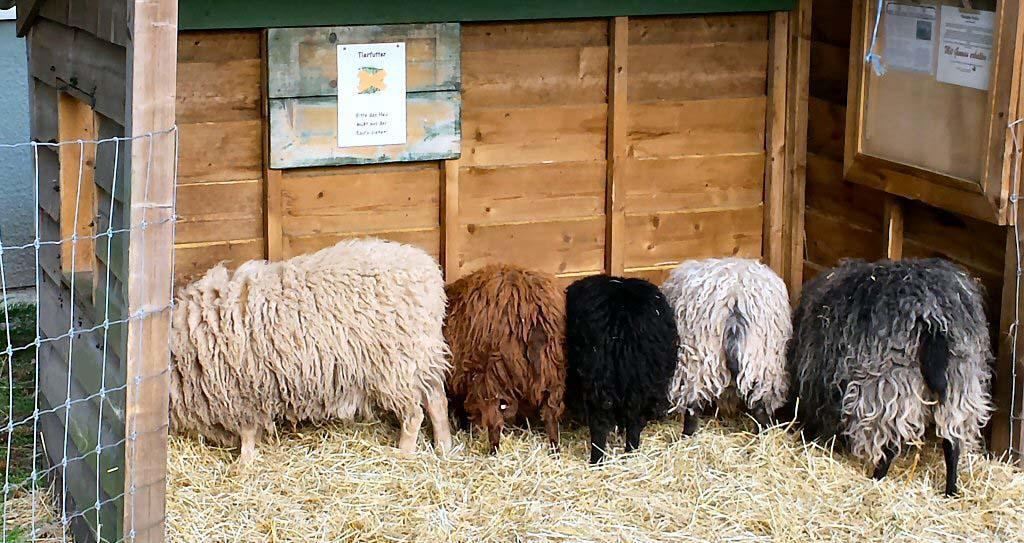 In de kinderboerderij met de schapen
