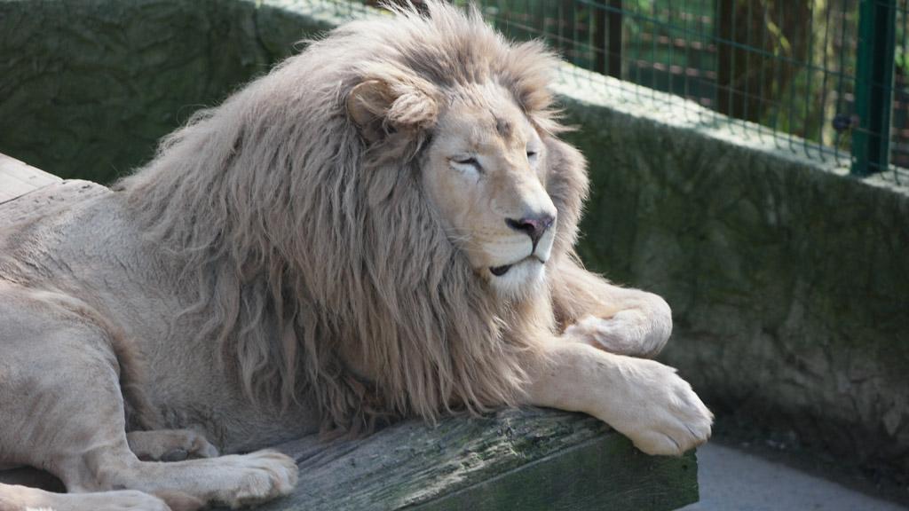 close up van de mooie aaibare leeuw