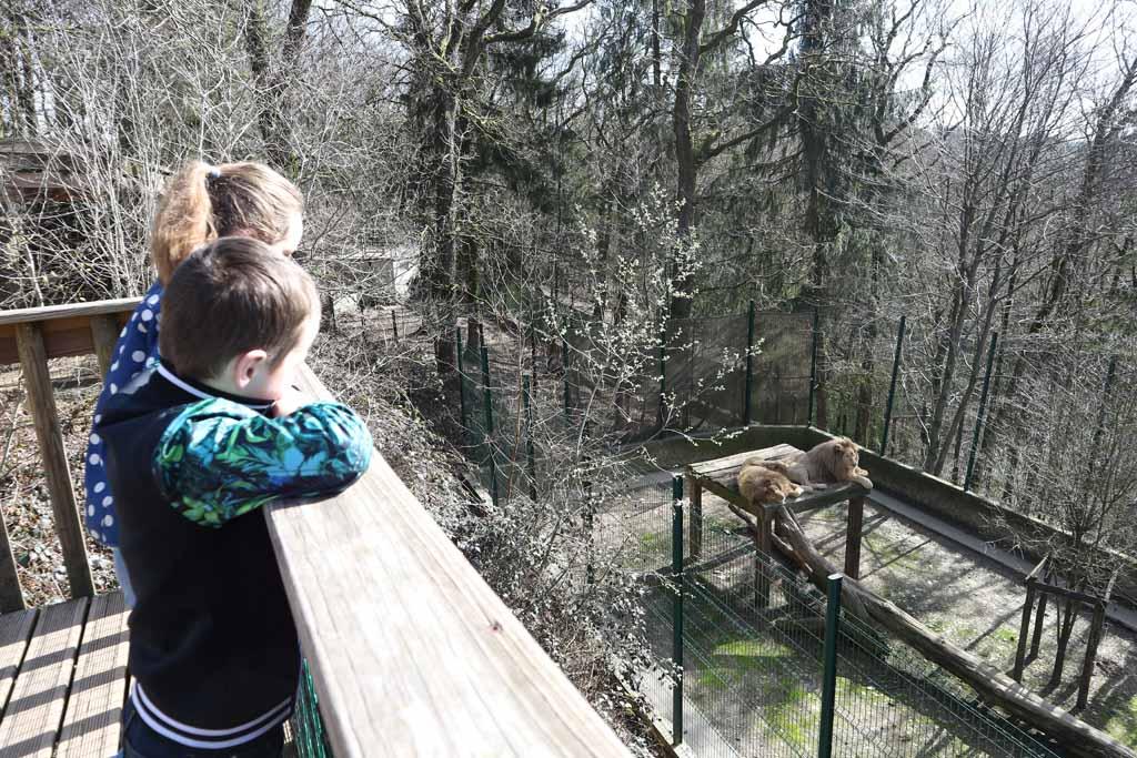 kinderen kijken naar de twee witte leeuwen