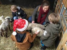 Belevenisboerderij-Schieveen-Bij-schapen-in-hok