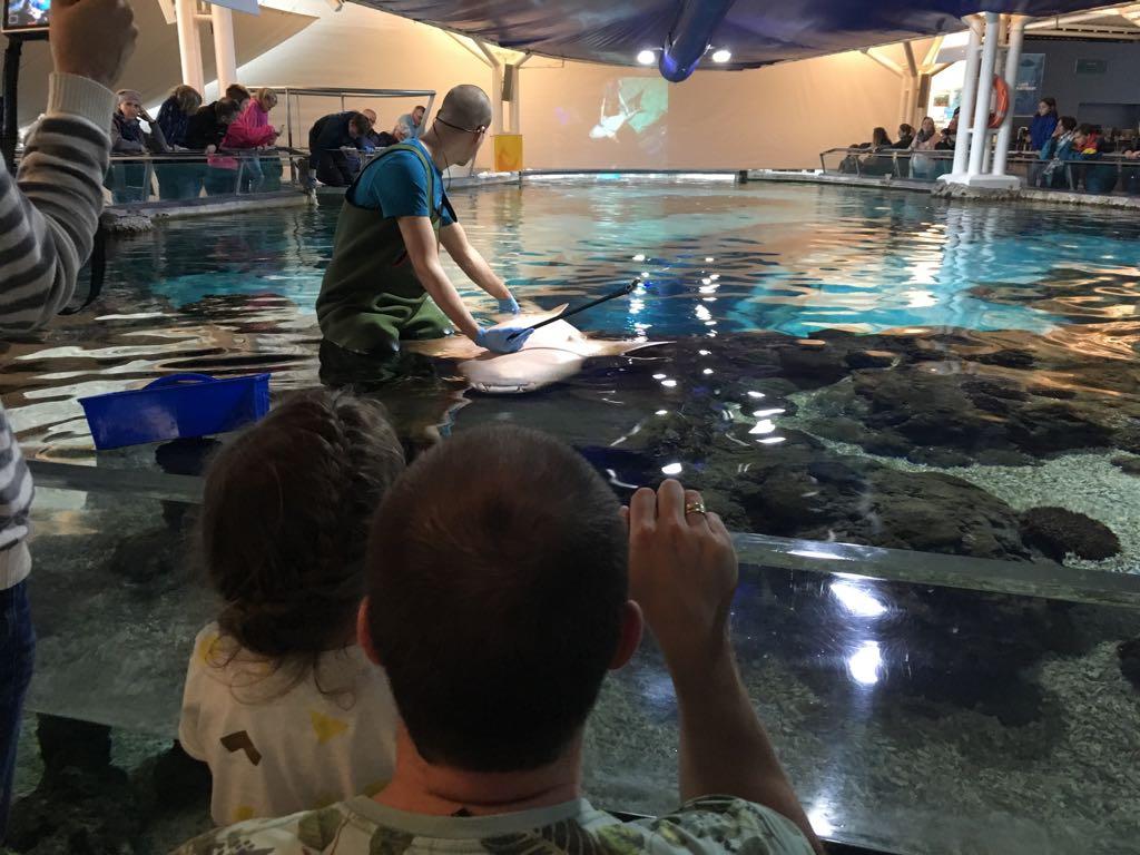 De haaien worden gelijk getraind zodat ze zich makkelijker laten onderzoeken.
