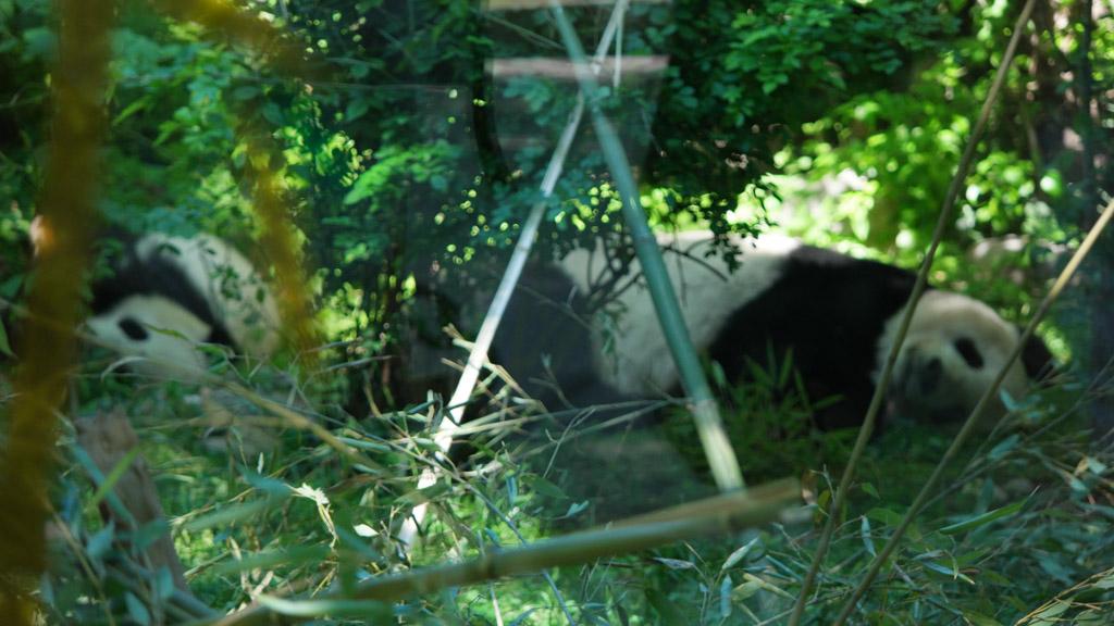 De panda's in de bosjes, ze liggen stil en zijn nauwelijks te zien.