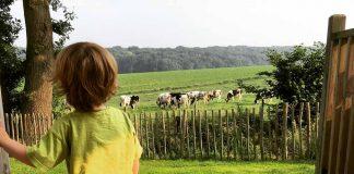 Minstens een keer per dag eten de koeien gras voor onze Airlodge. Peutervermaak ten top.