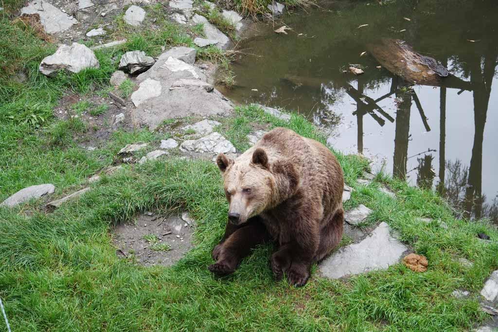 De beren zitten te wachten op hun eten, letterlijk zitten dus