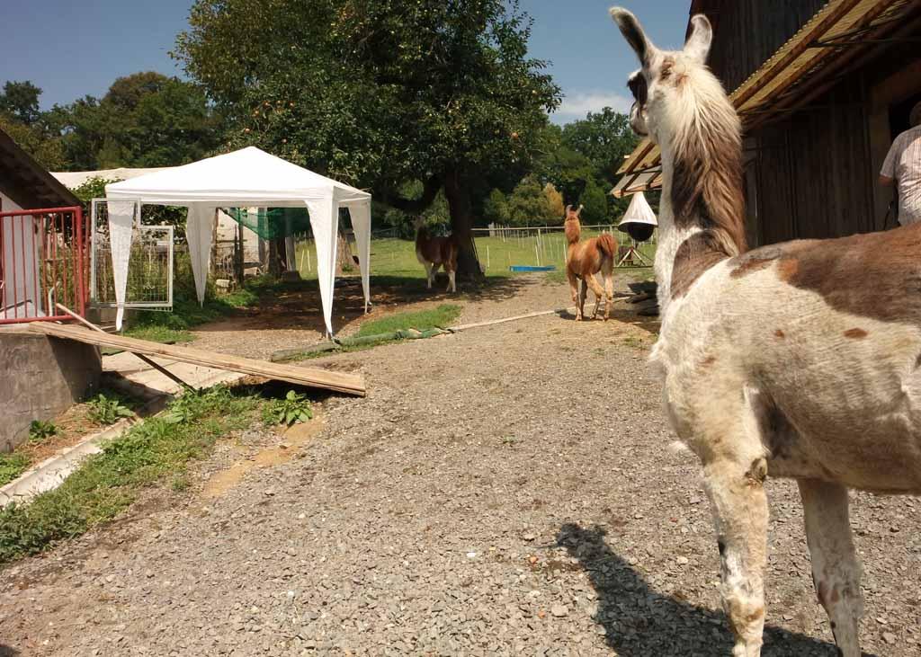 Een grote weide met lama's en alpaca's