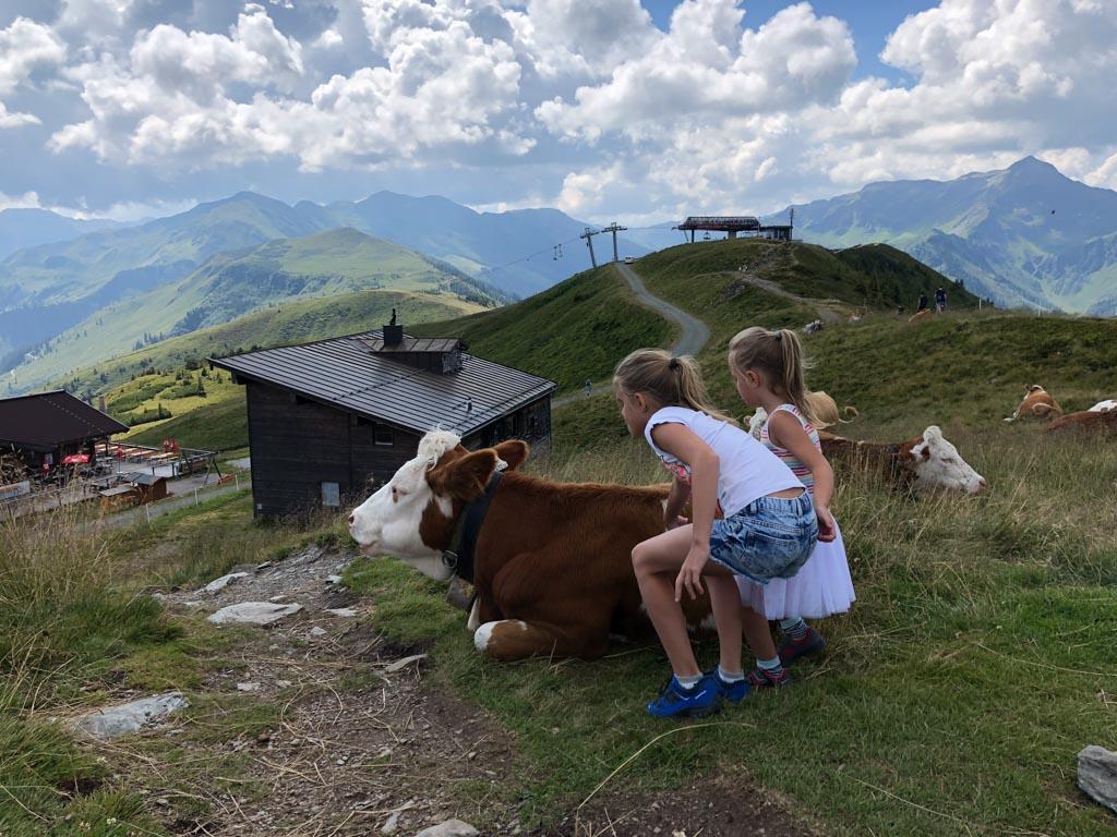 Wandelen tussen de koeien door