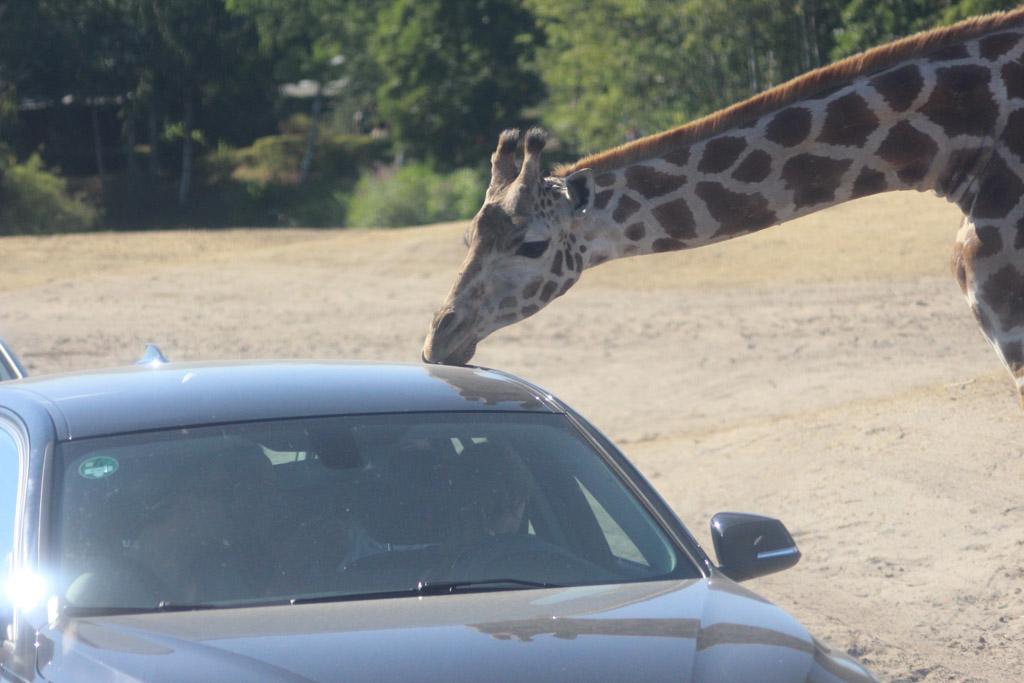 De kinderen van het WNF Rangers kamp hebben hard moeten lachen om de giraffen die de auto's likken.