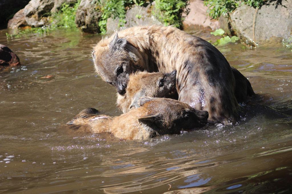 Van de hyena's in het water kon Bent een mooie foto maken.