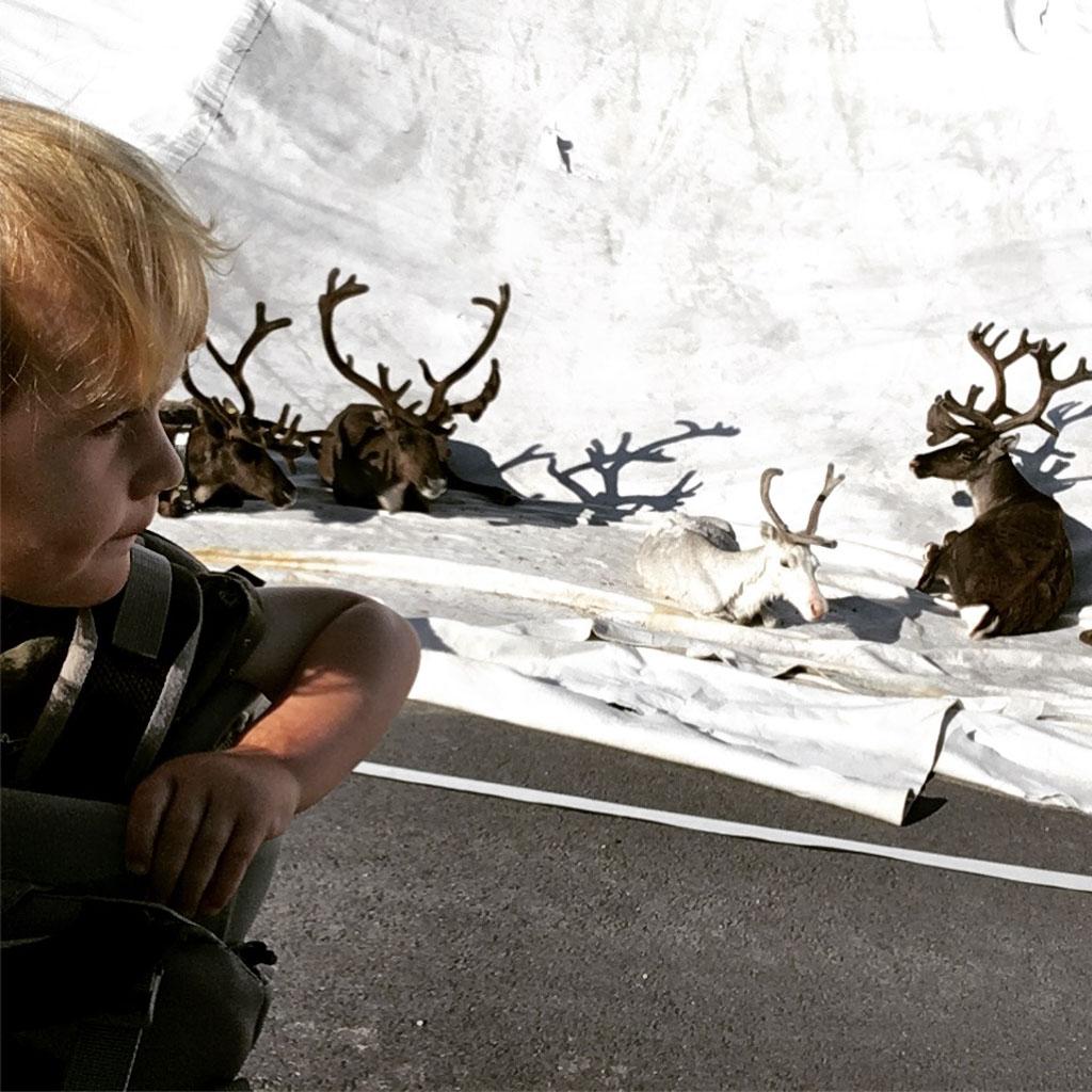 Deze foto is niet in scène gezet. Op een berg die bedekt is met wit plastic ligt een kudde rendieren. We kunnen ze bijna aaien!
