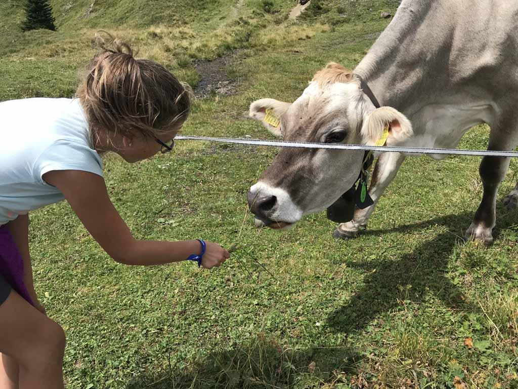 activiteiten in arosa alpen koeien.