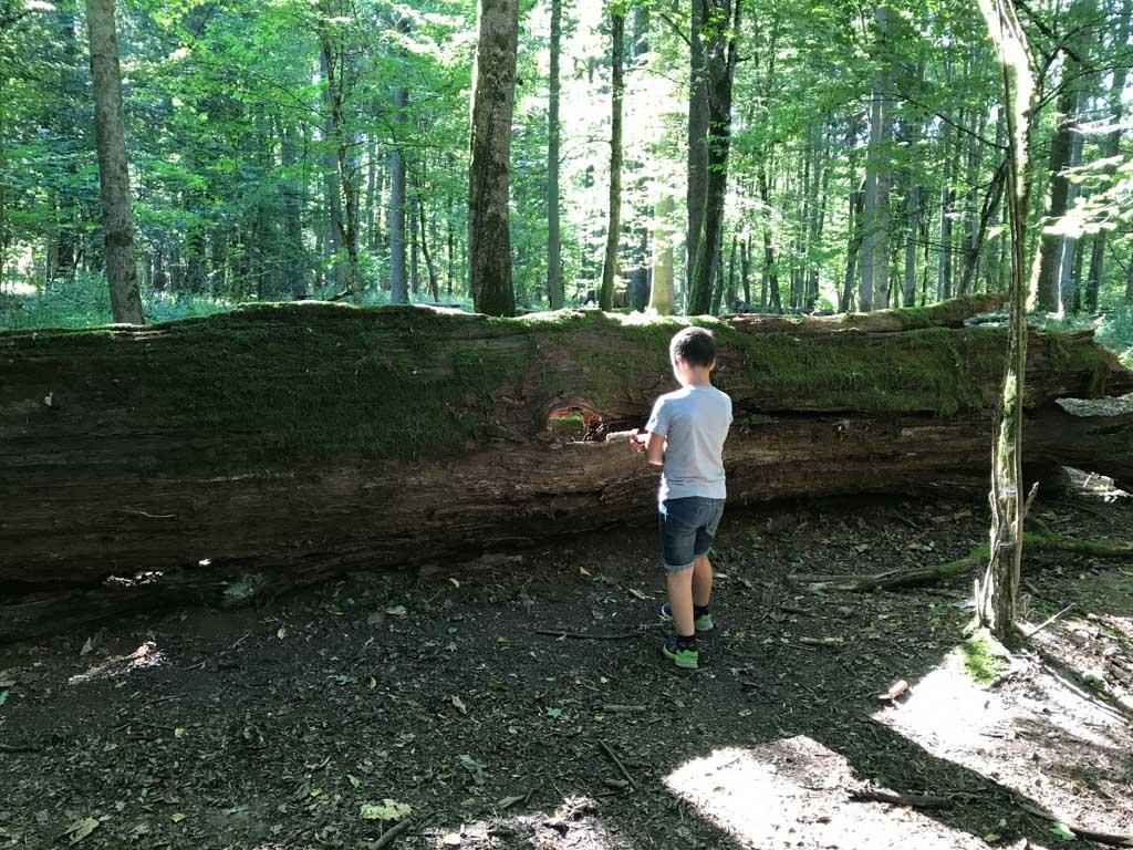 Deze boom ligt er al 40 jaar, over nog eens 40 jaar is er bijna niets meer van over.