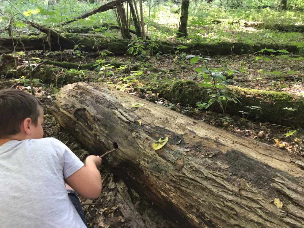 Met een stokje in een boom voelen hoe diep het gat is dat de specht heeft gemaakt.