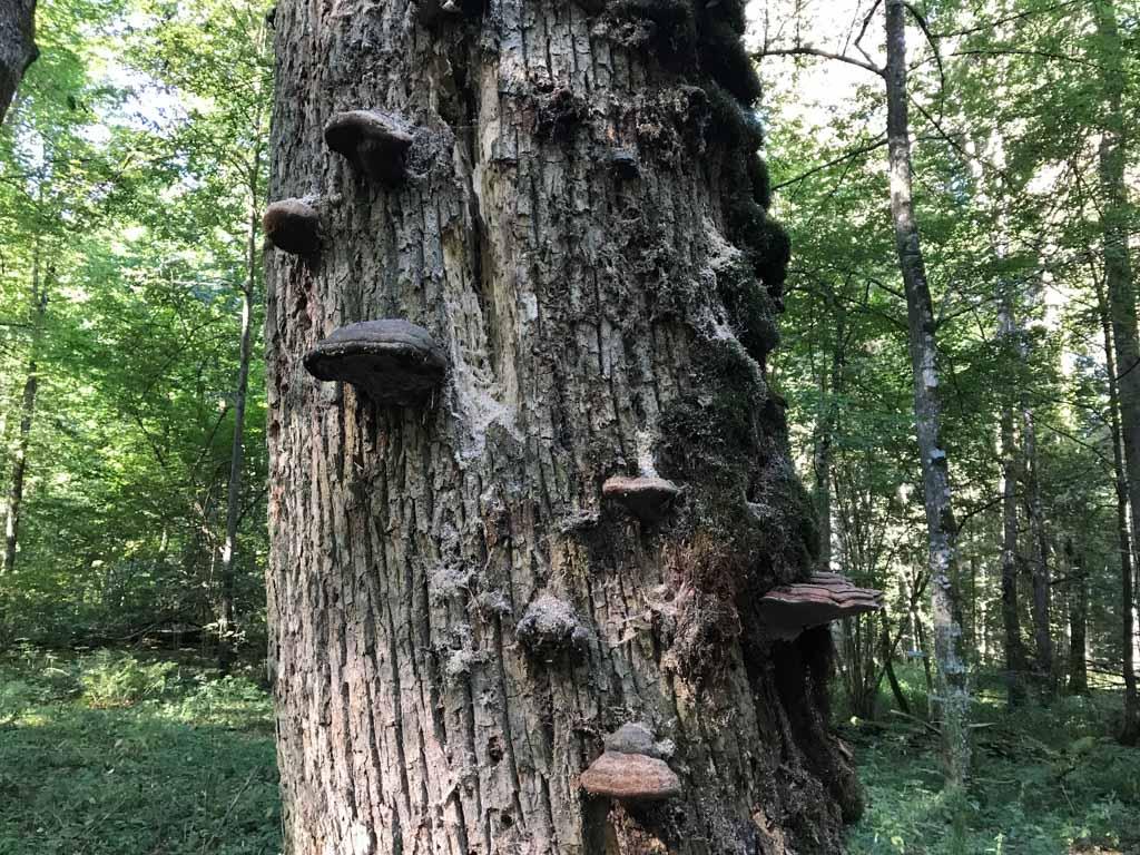 Zoveel paddenstoelen op de bomen. Hoe beter je kijkt hoe meer je er ziet.