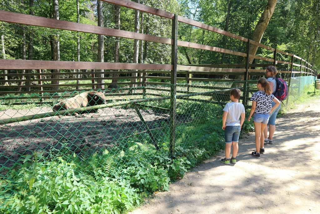 Een hybride bizon, in een apart verblijf om vermenging te voorkomen.