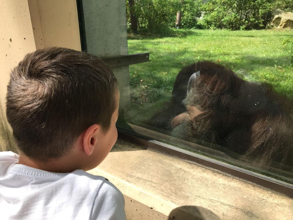Mijn 9-jarige zoon is gefascineerd door de Oerang-Oetan.