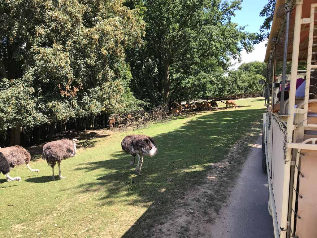 We rijden vlak langs de struisvogels.
