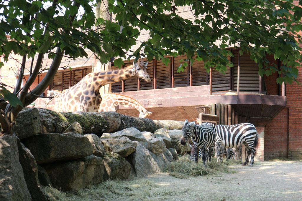 Zebra's en giraffen.