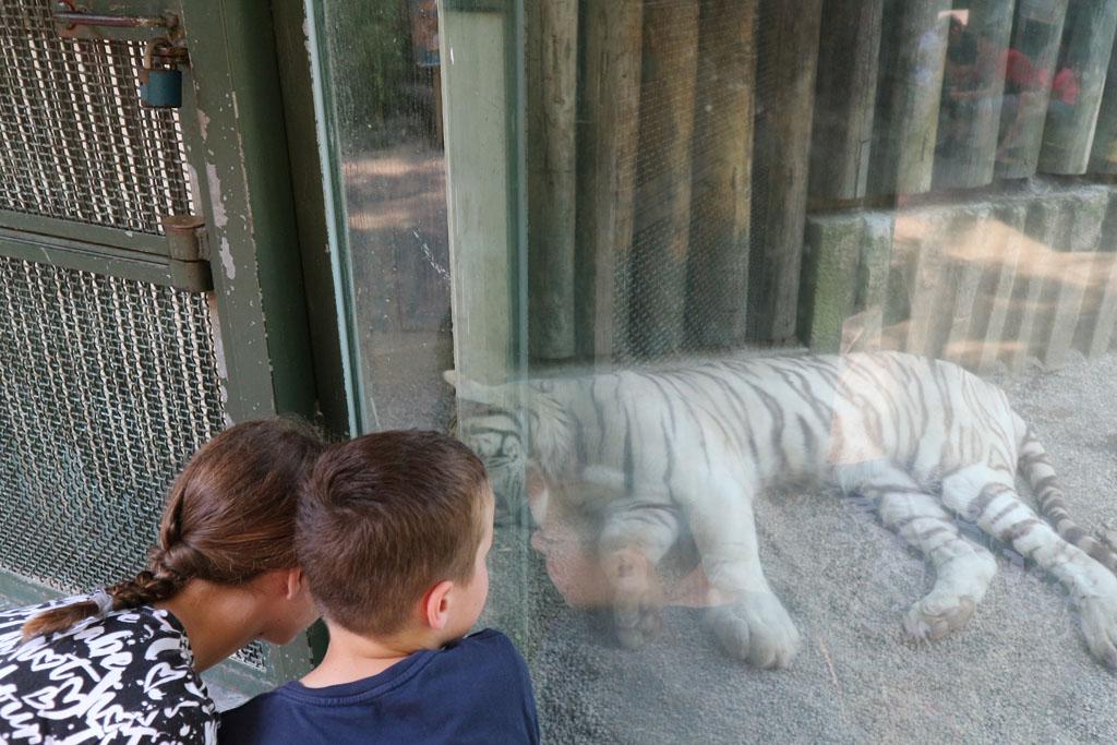 Yes, de witte tijger gevonden.