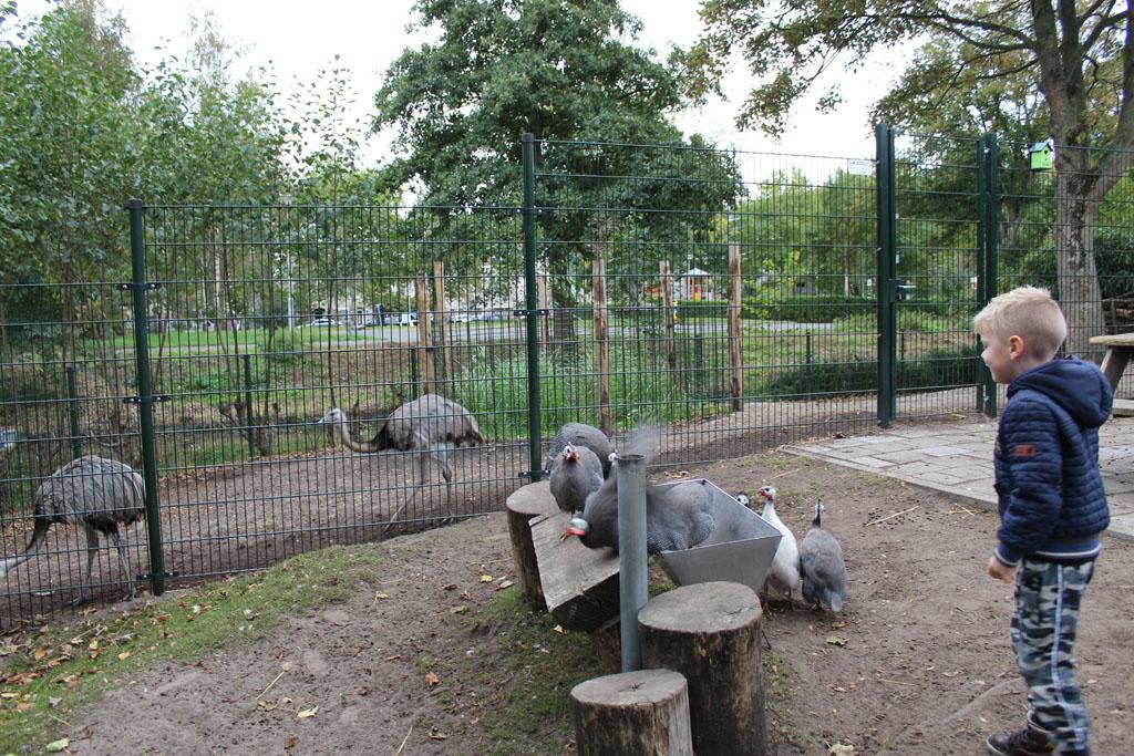 Een groep parelhoenders komt voorbij in het geitenverblijf. En achter het hek lopen de nandoes.