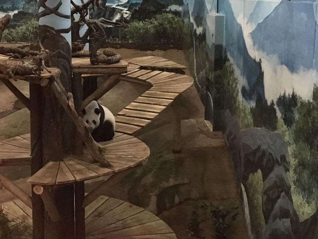Super om eindelijk de reuzenpanda's in het echt te zien.