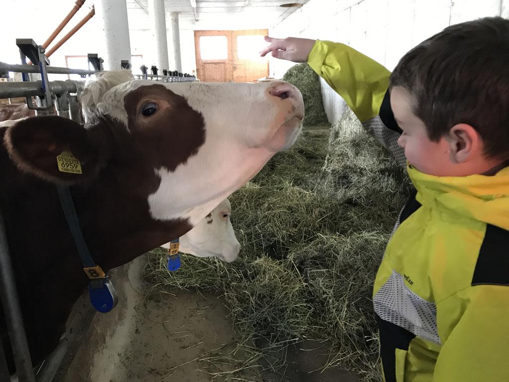 Koeien aaien in de stal.