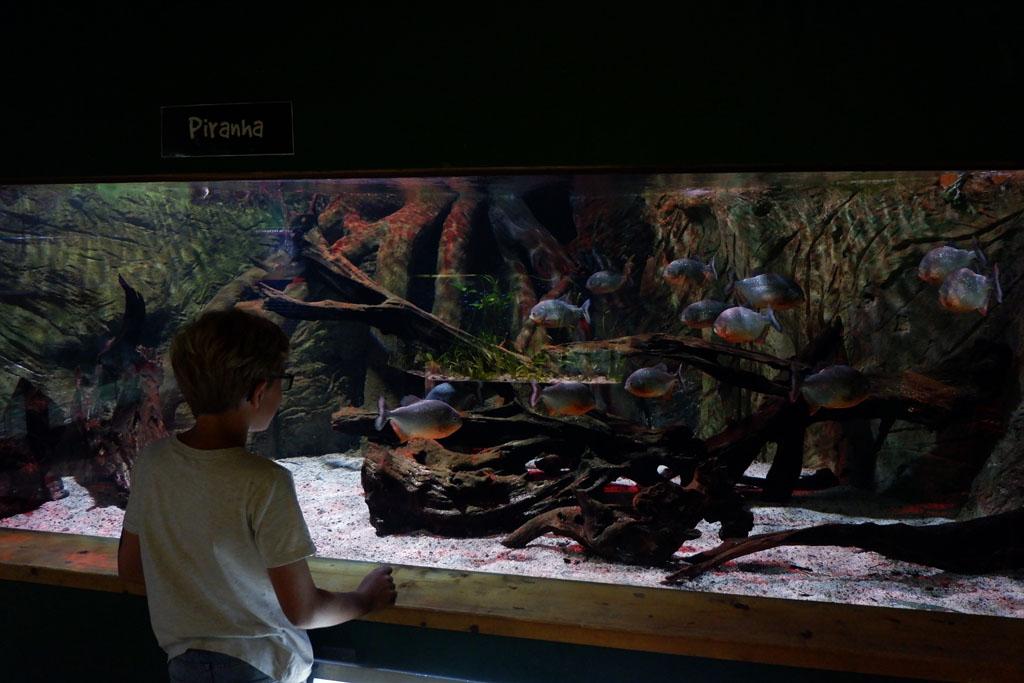 Natuurlijk kun je piranha's bewonderen bij Blue Reef Aquarium